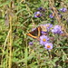 Small photo of Milbert's Tortoiseshell (Aglais milberti)
