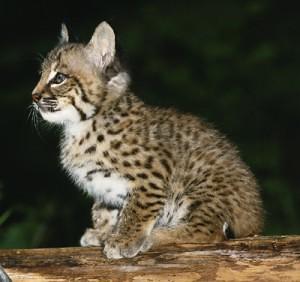so cute bobcat
