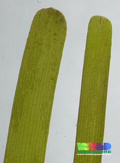 Smooth ribbon seagrass (Cymodocea rotundata)