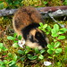 Norway Lemming - Photo (c) dration, some rights reserved (CC BY-NC-ND)