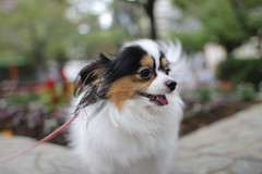 dog breed, animal, dog, pet, japanese chin, papillon, carnivoran, shetland sheepdog,