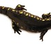 Small photo of Spotted Salamander (Ambystoma maculatum), top