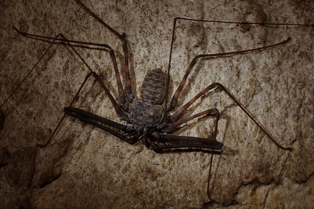 Whip scorpion (Charon sp.?), cave in the Philippines. Credit: Thomas Brown