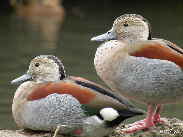 Ringed Teal Pair