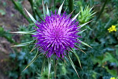 thistle(0.0), annual plant(1.0), prairie(1.0), jasione montana(1.0), flower(1.0), plant(1.0), nature(1.0), macro photography(1.0), wildflower(1.0), flora(1.0), silybum(1.0), artichoke thistle(1.0),