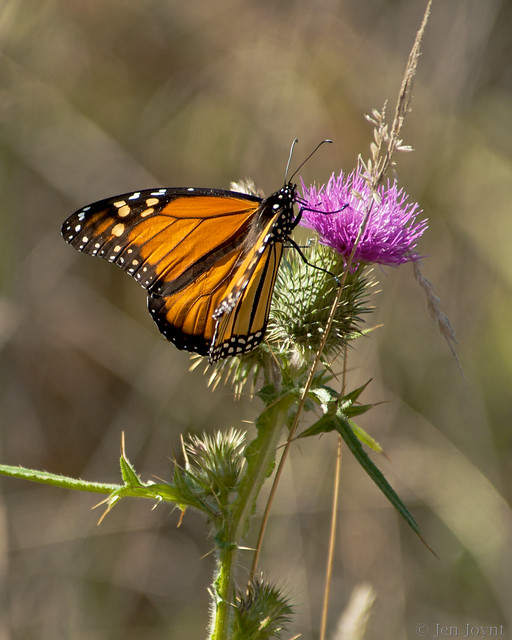 Monarch and the thistle