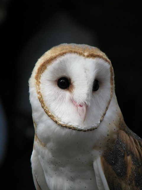 Oberon the Barn Owl
