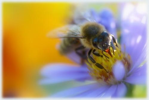 Včela. Biene. Bee.