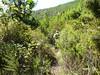 Piste du ruisseau de Castellu Muratu : la sente après le passage des ronces