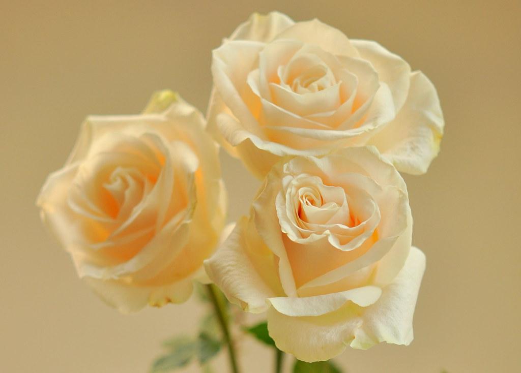 Cream colored roses pearls prose for Cream rose wallpaper