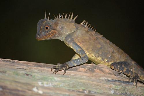 Horned Tree Lizard - (Acanthosaura armata), Malaysia.