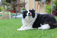 polish lowland sheepdog(0.0), stabyhoun(0.0), border collie(1.0), dog breed(1.0), animal(1.0), moscow watchdog(1.0), dog(1.0), landseer(1.0), tornjak(1.0), karakachan dog(1.0), newfoundland(1.0), english shepherd(1.0), carnivoran(1.0),