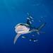 Blue Shark - Azores