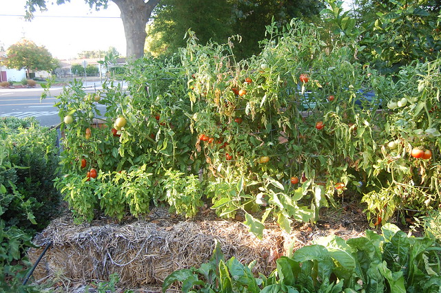 A row of straw bale tomatoes in my garden. Five different kinds of tomatoes.