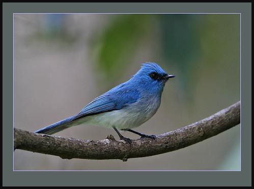 kakamega avianexcellence africanblueflycatcher elminialongicauda rainbirder