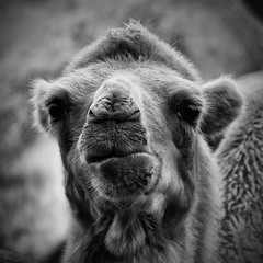 llama(0.0), alpaca(1.0), nose(1.0), animal(1.0), snout(1.0), mammal(1.0), head(1.0), monochrome photography(1.0), fauna(1.0), close-up(1.0), camel(1.0), monochrome(1.0), black-and-white(1.0),