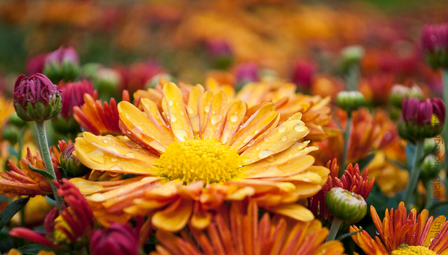 Mums the word, but fall is here
