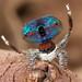 _MG_9793 (1) peacock spider Maratus mungaich by Jurgen Otto