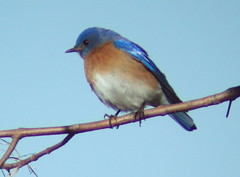 Eastern Bluebird, Yellow Creek State Park, Indiana Co., PA