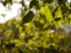 Packwood Tree Helios Swirl