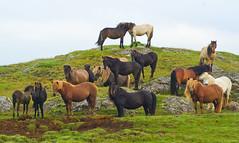 Hill of horses
