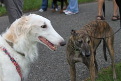 dog sports, dog breed, animal, magyar agã¡r, silken windhound, dog, polish greyhound, whippet, galgo espaã±ol, saluki, sloughi, pet, mammal, greyhound, conformation show, borzoi,