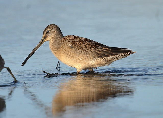Long-billed Dowitcher 2 (kanaduðra), Olympus E-3, Sigma APO 50-500mm F4.0-6.3 EX DG HSM