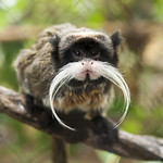 The Mustachioed Monkey