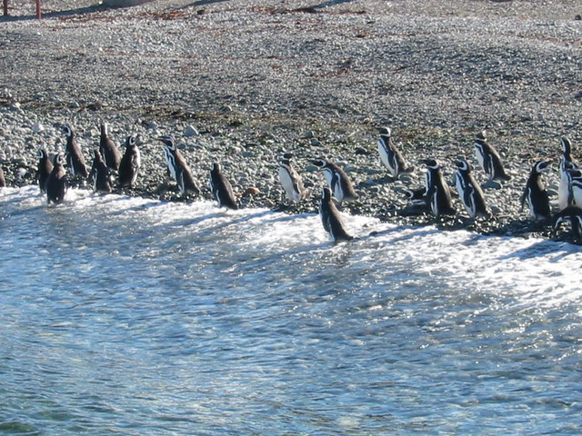 Magellanic penguins, Monumento Natural Los Pingüinos, Isla Magdalena