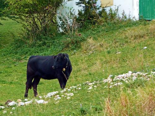 black color green geotagged austria kuh cow österreich europe alm gras steiermark styria veitsch brunnalm wenigzell mygearandme