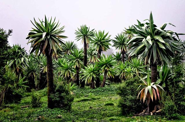Especie de Lobelia gigante, natural de las montañas del este de África. Montañas Simien, macizo de Abisinia, Etiopía.