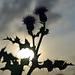 Creeping Thistle (Cirsium arvense) by conall..