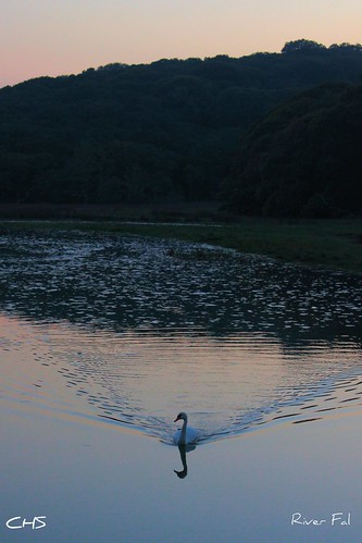 A lone swan has an evening paddle along the River Fal by Stocker Images