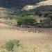 Pastoreo de borregos - Sheep grazing; camino entre San José Ayuquila y Xenostle, Región Mixteca, Oaxaca, Mexico por Lon&Queta