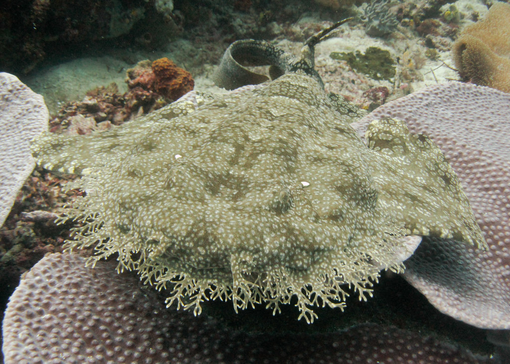 Tiburón alfombra Raja Ampat