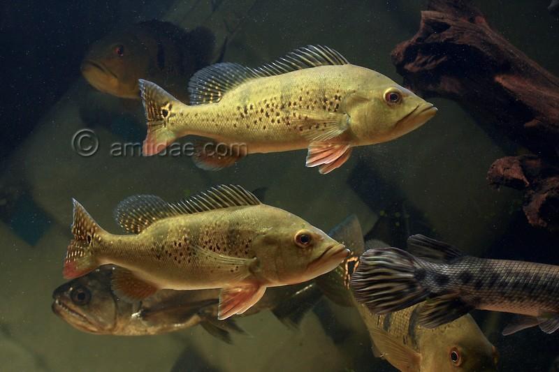 Some random fish shots at my lfs practical fishkeeping forum for Predatory freshwater fish