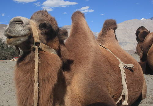 Bectrian Camel at Hundar Sand Dunes / Diskit / Nubra Valley