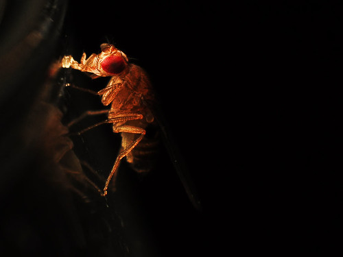 Thirsty Fruit Fly