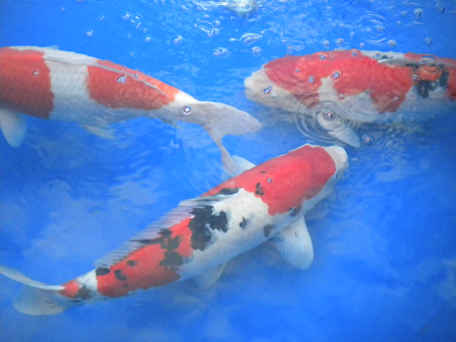 Swimming koi fish flickr photo sharing for Koi swimming