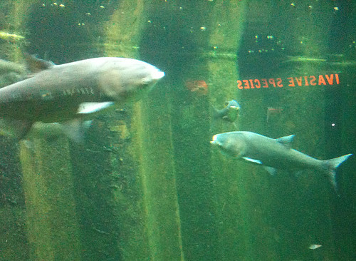 Asian Carp = Invasive Species by jmogs via Flickr