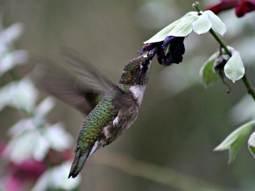 Hummingbird and Andean Sage