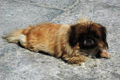 dog breed, animal, dog, pet, lhasa apso, pekingese, carnivoran,