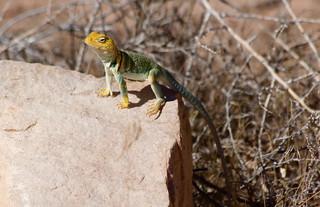 Western Collared Lizard on a warm rock, midday sun