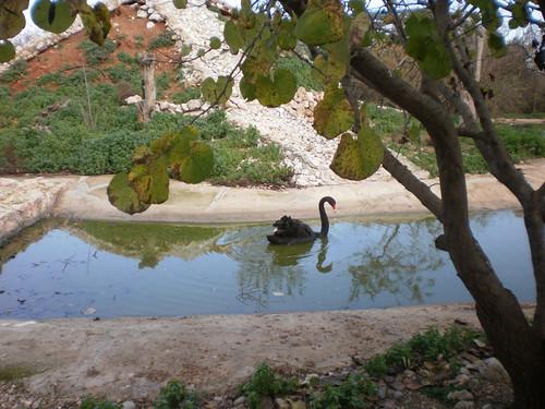 Black Swan by Konstantinos Chaikalis