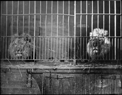 Two caged lions
