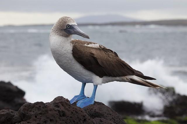 Alcatraz patiazul en las islas Galápagos