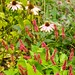 persicaria golden arrow  662