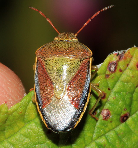 Gorse Shieldbug 2619