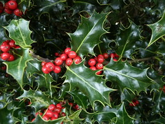 Ilex aquifolium Holly & berries