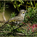 Yellow-faced honeyeater by Janette & Jack,on and off
